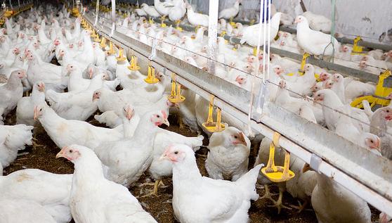 آنفولانزای مرغی در نجف آباد