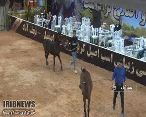 جشنواره اسب اصیل کُرد در نجف آباد