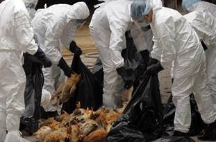 آنفلوانزا 200 هزار قطعه از طیور نجفآباد را تلف کرد
