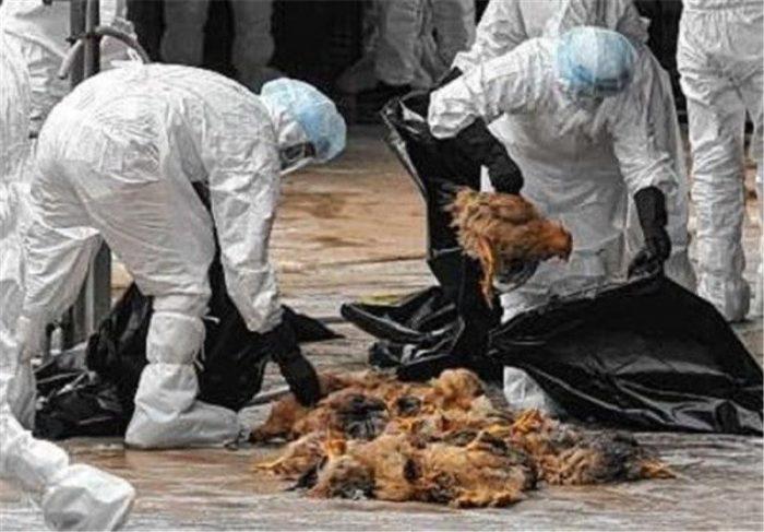 معدوم کردن بیش از یک میلیون قطعه مرغ در استان اصفهان