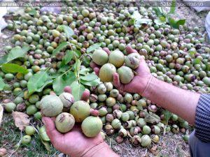 کاهش ۲۰درصدی برداشت گردو در نجف آباد